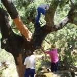The extraction of the bark from cork oaks. Photo: GDR de Los Alcornocales Photo background